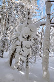 The rounded snow on the trees trunk Royalty Free Stock Images
