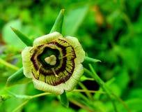Roundleaf Bellflower & x28 codonopsis rotundifolia& x29  στην κοιλάδα του εθνικού πάρκου λουλουδιών, Ιμαλάια, Uttarakhand, Ινδία Στοκ φωτογραφίες με δικαίωμα ελεύθερης χρήσης