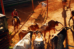 Roundup at the Ft Worth Stockyards. A cowboy rounds up the last of the longhorns in texas royalty free stock images