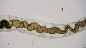 Roundworm под микроскопом в 4k видеоматериал
