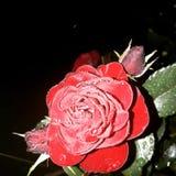 Rouse rojo Foto de archivo libre de regalías
