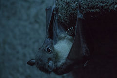 Rousettus Aegyptiacus, Egyptian bat. Hanging in a dark cave Royalty Free Stock Photography