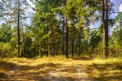 Route à la forêt de pin pendant le jour ensoleillé d'automne photos stock