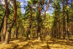 Route à la forêt de pin pendant le jour ensoleillé d'automne photographie stock