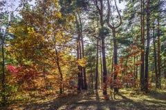 Route à la forêt de pin pendant le jour ensoleillé d'automne photographie stock libre de droits