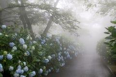 Route étroite brumeuse avec des fleurs d'hortensia Images stock