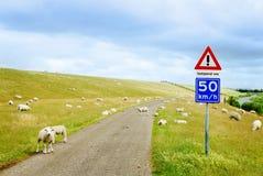 Route avec des moutons Photos libres de droits