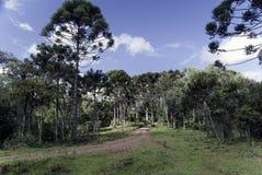 Route d'araucaria images libres de droits