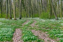 Route dans une forêt de ressort avec de belles fleurs blanches Photographie stock libre de droits