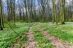 Route dans une forêt de ressort avec de belles fleurs blanches Image stock