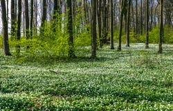 Route dans une forêt de ressort avec de belles fleurs blanches Images libres de droits
