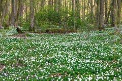 Route dans une forêt de ressort avec de belles fleurs blanches Image libre de droits