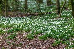 Route dans une forêt de ressort avec de belles fleurs blanches Photo stock