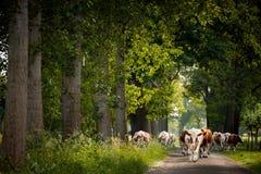 Route de campagne avec les vaches néerlandaises Image stock
