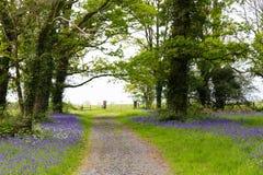 Route de campagne menant par la forêt luxuriante de jacinthe des bois en Irlande Photographie stock