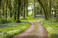 Route de campagne menant par la forêt luxuriante de jacinthe des bois en Irlande Photo libre de droits