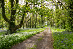 Route de campagne menant par la forêt luxuriante de jacinthe des bois en Irlande Photos libres de droits