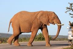 Route de croisement d'éléphant africain Photos stock