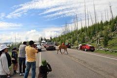 Route de croisement de cerfs communs, Yellowstone Images libres de droits