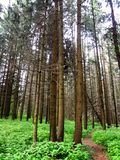 Route de soirée dans une forêt mystérieuse de pin Photo stock