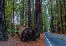 Route des séquoias géants en parc national de la Californie, Etats-Unis image libre de droits