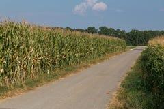 Route entre les champs de maïs avec le soleil Images stock