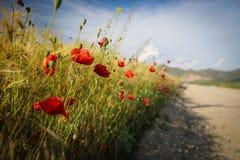 Route latérale avec des pavots dans le domaine de blé photographie stock libre de droits