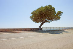 Route maritime d'arbre de pin au saint Tropez. La Provence Photo stock