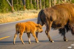 Route mignonne de croisement de veau de bison avec la mère en parc national de Yellowstone images libres de droits