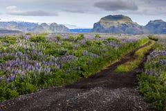 Route parmi les fleurs dans la vallée des montagnes islandaises Image stock
