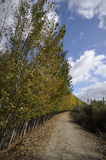 Route between poplar. A path between trees in a poplar forest Stock Images
