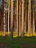 Route vide dans la forêt de pin de soirée avec les derniers rayons du soleil dans le kraj de Machuv de secteur de touristes dans  Image stock
