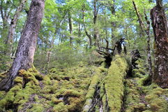 Routeburn轨道森林 库存照片