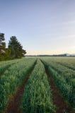 Routes dans les domaines de blé avant lever de soleil dans la forêt photographie stock