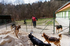 Daily routine chores in dog shelter with a man and pair of dogs. stock photography