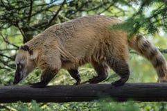 Roux dei coati che cammina su una connessione lo zoo Fotografie Stock