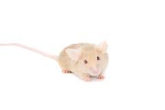 roux seul de souris Image stock