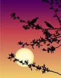 Rouxinóis no por do sol Fotografia de Stock