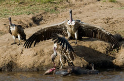 Rov- fågelsammanträde på en vagga nära floden kenya tanzania safari 5 2009 för tanzania för östlig marsch för maasai för africa d Arkivfoton
