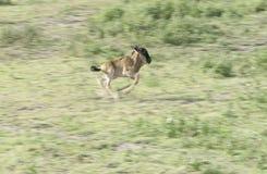 rov för 5 lion fotografering för bildbyråer