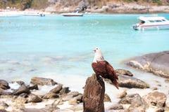 Rov för Eagle fågelväntan royaltyfria foton
