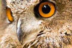 rov för fågelörnowl arkivbild