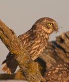 rov för liten owl royaltyfri bild