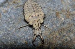 rov- larv av ett myralejon royaltyfri fotografi