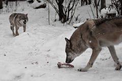 Rov- onda vargkörningar gör bar hans tänder till vargmannen, hennes make som ämnar ta bort hans ben Vintersnöfall royaltyfri foto