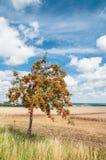 Rovan träd i sen sommar fotografering för bildbyråer