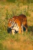 Rovdjur Amur eller Siberian tiger, Pantheratigris altaica som går i gräset Tiger i naturlivsmiljön Stor farlig Royaltyfri Bild