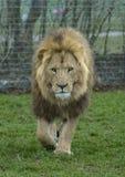 rovdjur för lion för konung för bakgrundsfägreen Arkivfoto