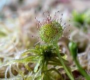 Rovdjur för sileshårväxt Fotografering för Bildbyråer