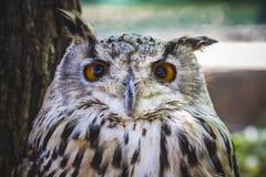 Rovdjur, härlig uggla med intensiva ögon och härlig fjäderdräkt Royaltyfri Bild